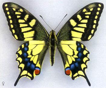 махаон фото бабочки
