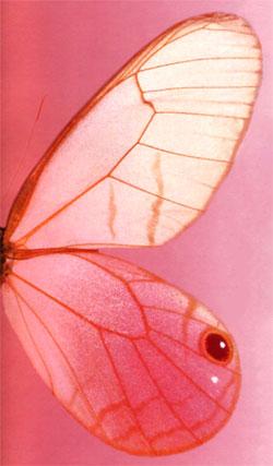 Семейство бабочек - Бархатницы