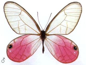 Цитериас аврорина (самец)