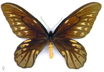Птицекрыл королевы Александры бабочка