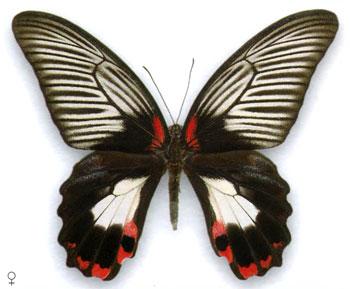 Парусник Румянцева бабочка