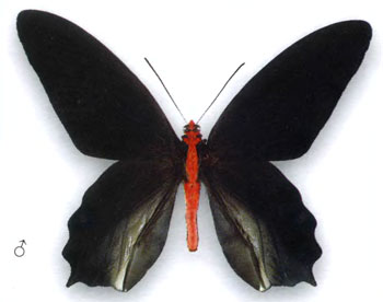 Атрофанеура Семпера бабочка