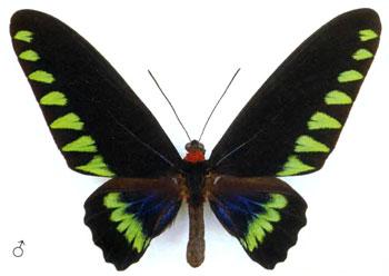 Птицекрыл Троянский (самец)