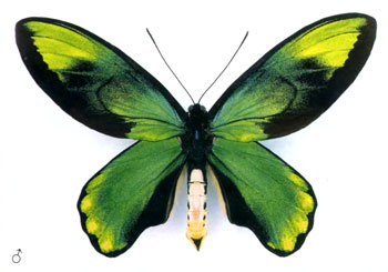 Птицекрыл королевы Виктории бабочка