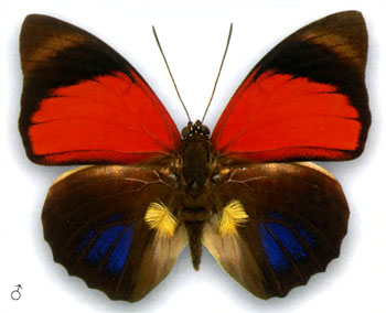 Агриас клаудина бабочка