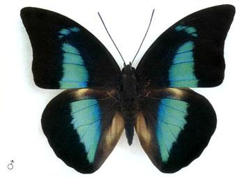 Археопрепона демофонт бабочка