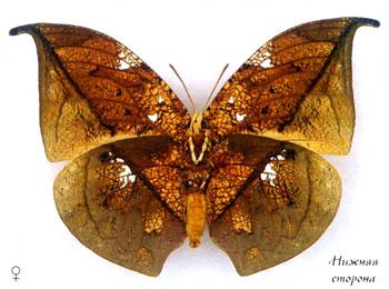Ценофлебия архидона бабочка