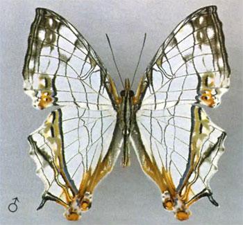 Цирестис тиодамас бабочка