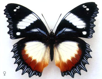 Гиполимнас декситея бабочка