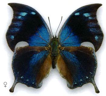 Мемфис альберта бабочка