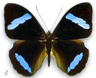 Нессея хевитсона бабочка