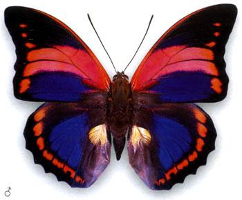 Препона пренеста бабочка