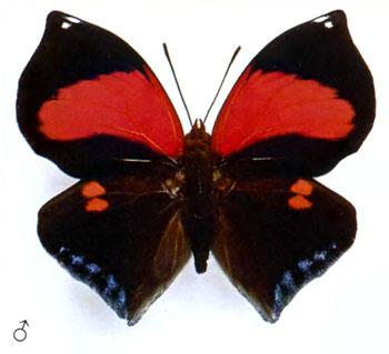 Сидероне фиванка бабочка