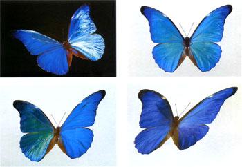 Зависимость цвета сияния крыла от угла падающего на него света.