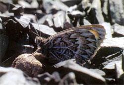 Бархатница карамаза греется на камнях