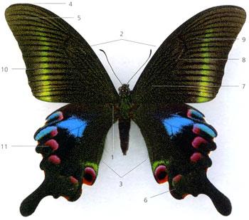 Схема крыла бабочки