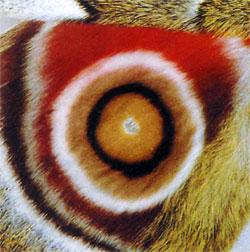 Рисунок крыла бабочки